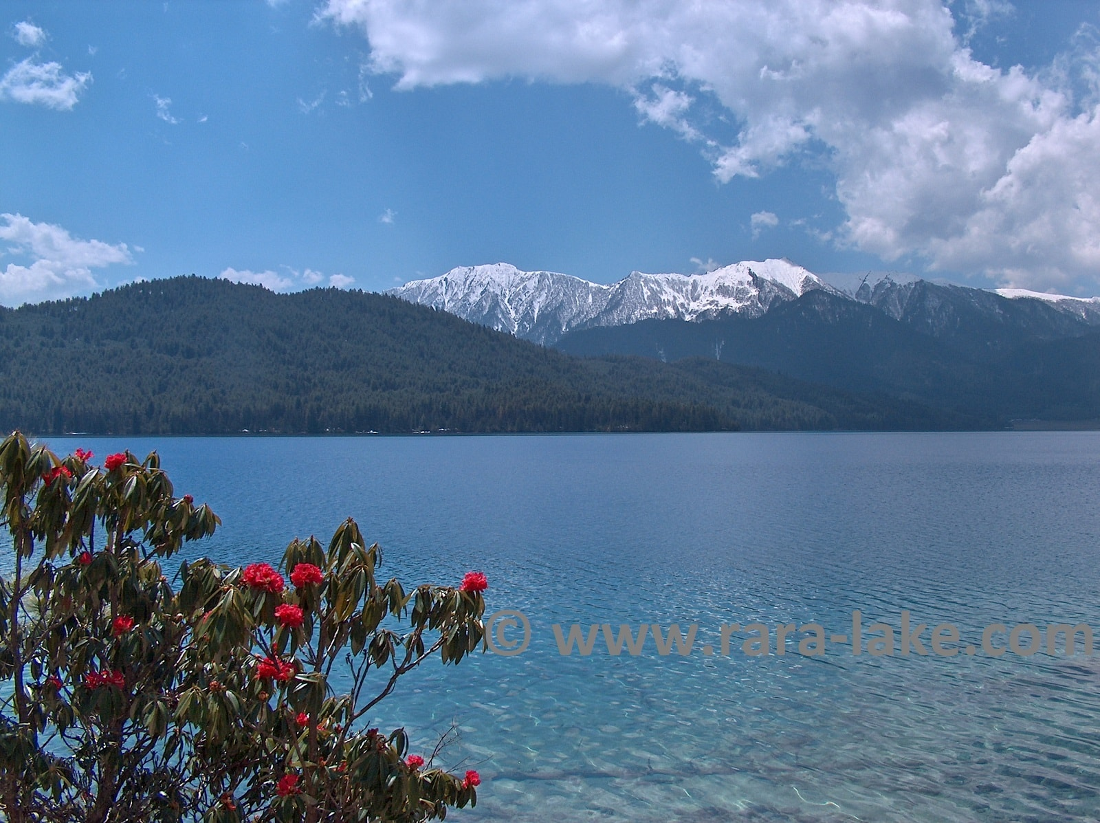 Rara Lake rhododendron flowers